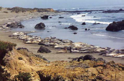 Sea Elephants - Piedra Blancas