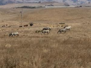 Zebras Hearst Castle CA